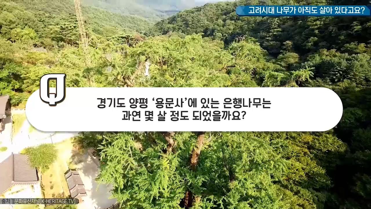 고려시대 나무가 아직도 살아 있다고요?